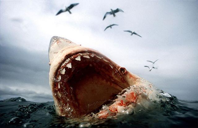 white-shark (21)