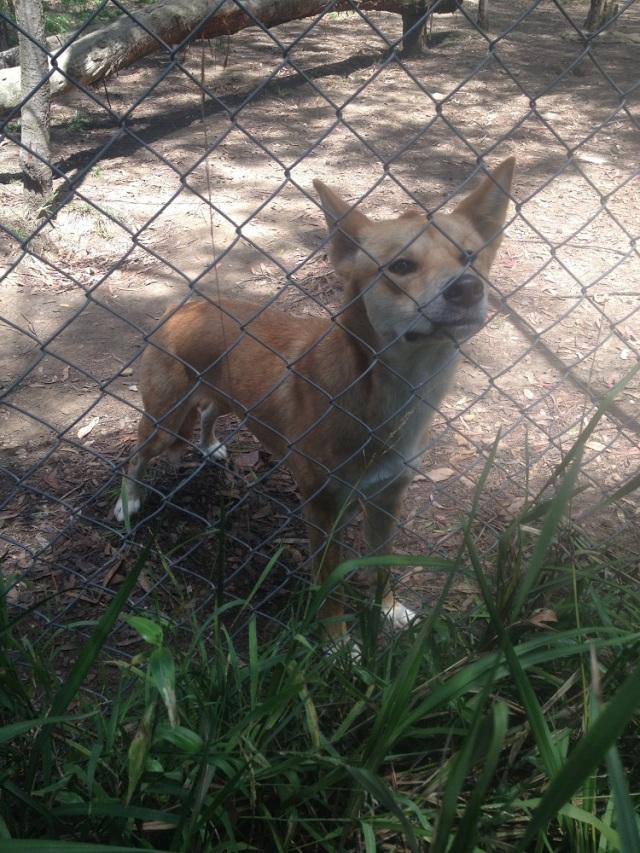 dingo-sanctuary-2
