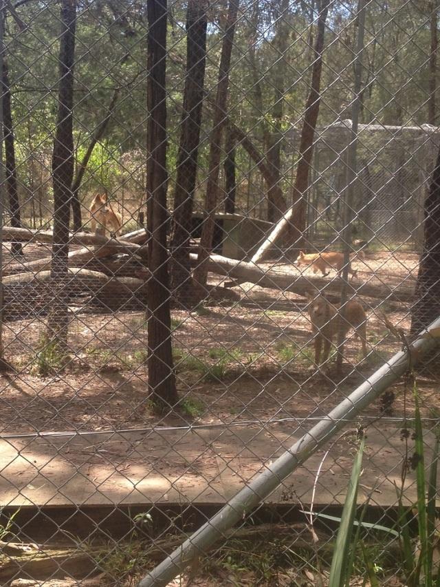dingo-sanctuary-5